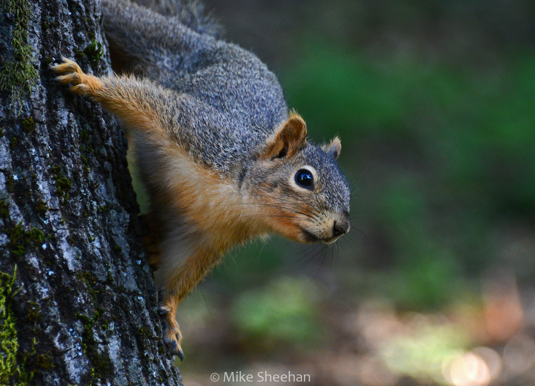 squirrel in a tree by mike sheehan