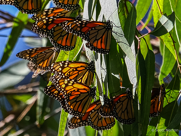 close up of monarch butterflies on leaves by scott norton