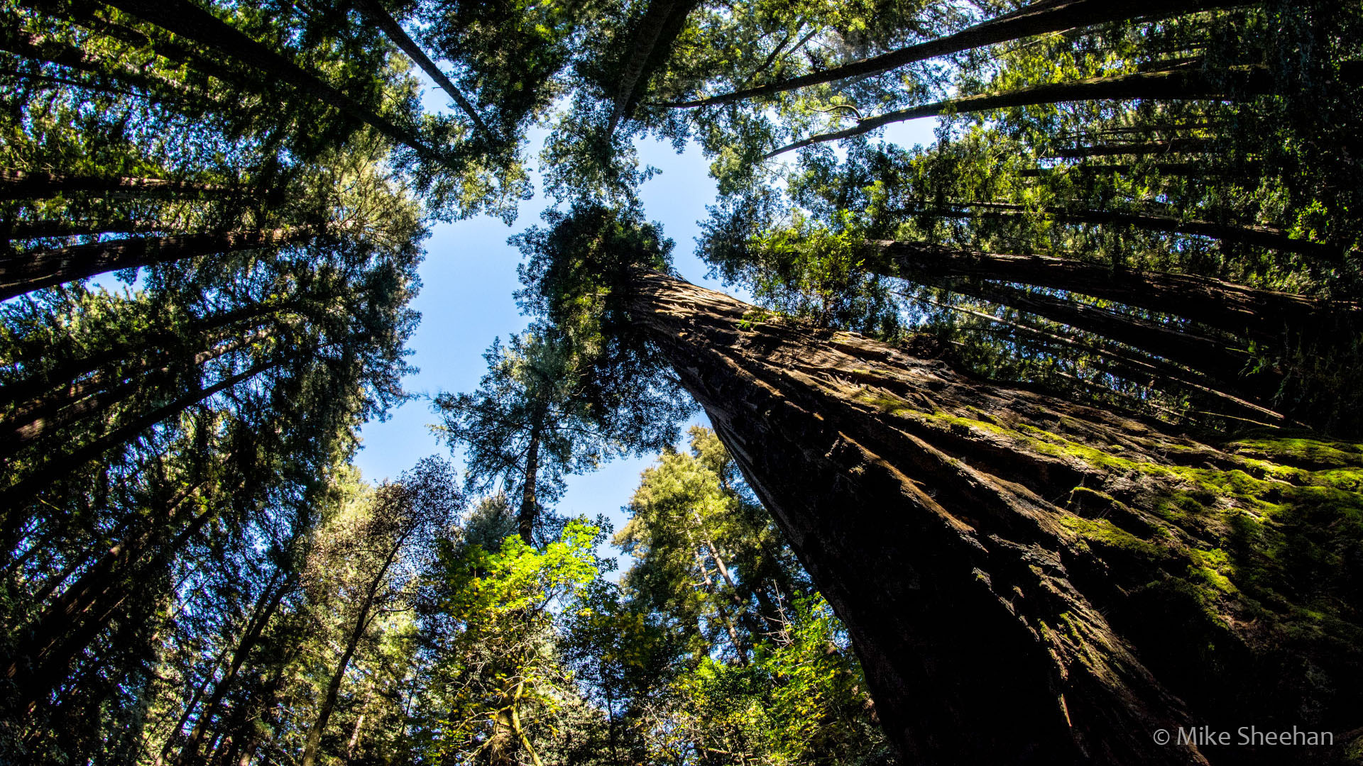 Redwood trees by Mike Sheehan